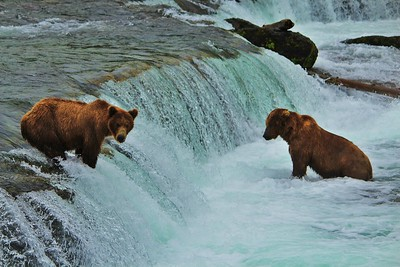 Bears waiting to catch salmon on Brooks Falls