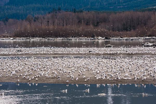 Resting Gulls.