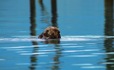 A Sea Otter scrubs its face during its post nap-time bath