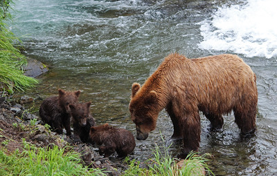 A mother bear guides her cubs up to the shore so she can go fishing