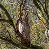 Great Horned Owl in Palo Verde Tree