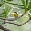 Yellow-throated male Euphonia