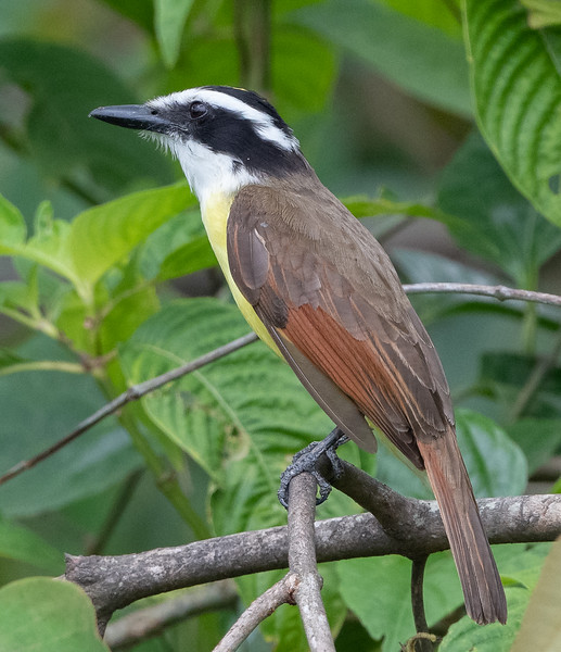 Greater Kiskadee