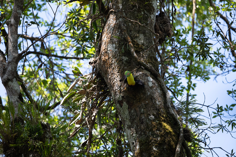 Keel-billed Toucan emeging from its nest