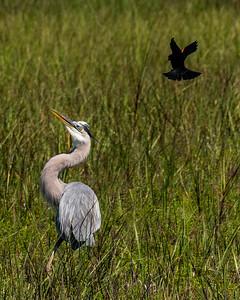 Galveston birding_20190409_0280  8 x 10
