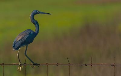 Galveston birding_20170608_0638
