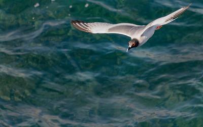 CRV_6068 Galapagos, South Island swallow tail gull