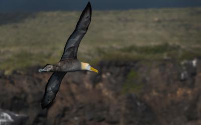 CRV_4285 Albatros in flight Galapagos