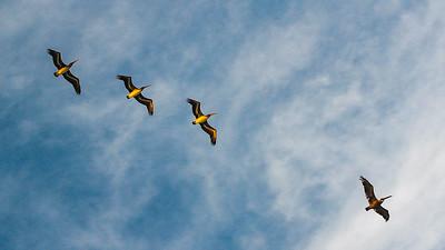 Florida, Pelicans 2011 DSC_6468 16 x 9