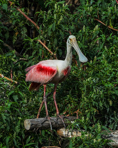 High Island birding 6-25-2012 300 rv1