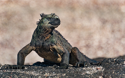 CRV_5560 Galapagos, Fernandina, marine iguana