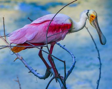 High Island Birding 2013 321 8 x 10