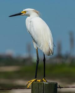 Galveston birding_20170608_0230