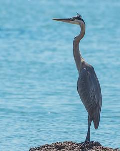 Galveston birding_20170608_0315 a