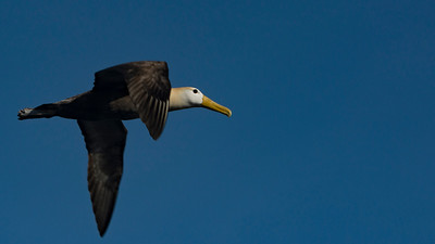CRV_4213 Galapagos Espanola albatross