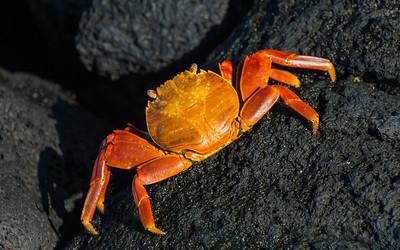 CRV_5604 Galapagos, Fernandina, Sally crab