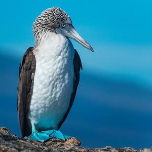 CRV_5024 Galapagos, Isabella blue footed booby close up 8x8