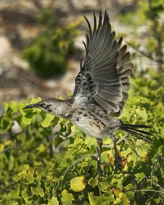 CRV_3587 Galapagos mockingbird