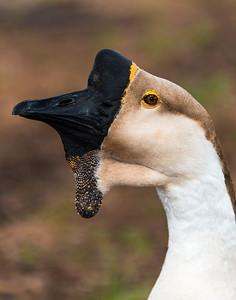 Hermann Park birds_20170228_0193 goose