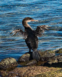 CRV_5589 revised flightless cormorant