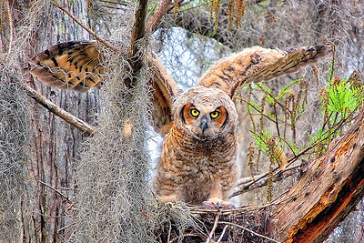 Great horned owlet at Loxahatchee NWR