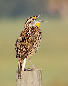 Eastern Meadowlark on Joe Overstreet Rd at Lake Kissimmee