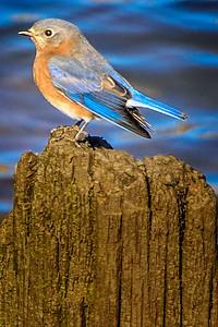 Bagnell Birds-4