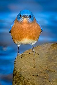 Bagnell Birds-5