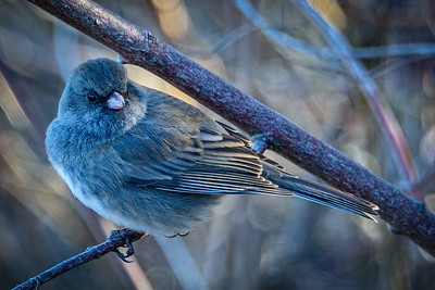 Bagnell Birds-2