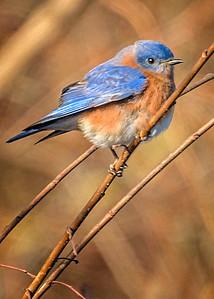 Bagnell Birds-3