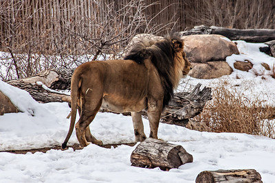 Denver lion paces snowy enclosure