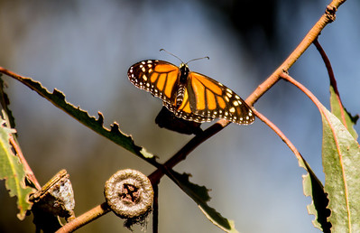 Monarch butterfly and eucalyptus button