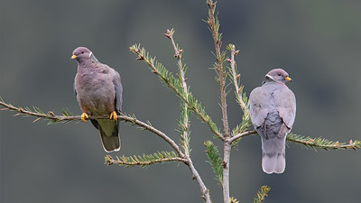 Band-tailed Pigeons on Douglas Fir Crown