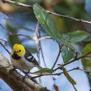 Hermit Warbler on Tan Oak