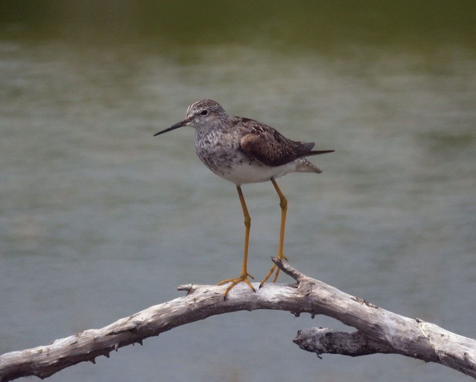 Greater Yellow Legs on Stick