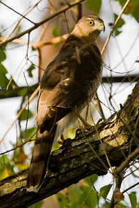 "Sharp-shinned Hawk – Looking for PreyAccipiter striatus December – Texas L=11"" ......    WS=23""  ......   WT= 5 oz Order: Falconiformes (Diurnal Birds of prey) Family: Accipitridae (Hawks and Allies) Sharp-shinned Hawks are the smallest accipiter in North America. The ""sharpie"" is a jay-sized bird that inhabits deciduous forests and urban areas and feeds mostly on small birds. These birds are often reviled by people with birdfeeders as they will perch near birdfeeders and snatch visiting birds.  Sharp-shinned Hawks do not dive from above when attacking prey, rather, they rely on surprise and attack from a perch. The prey may be perched or flying when attacked. When the Sharp-shinned Hawk attacks it will burst at the last second from its perch and fly through small limbs and foliage as part of the chase.  In general, these birds are secretive and quickly flee from danger or disturbances."