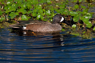 "Blue-winged Teal – Breeding maleAnus discors February – Texas L=15.5""  ......   WS=23""   ......  WT=13 oz Order: Anseriformes (Ducks, Geese and Swans)  Family: Anatidae (Ducks, Geese and Swans)"