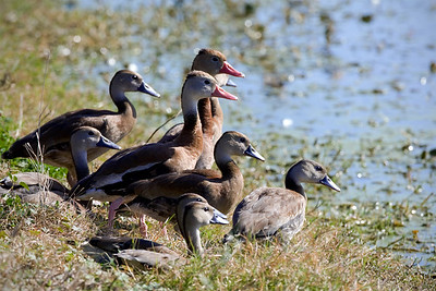 "Black-bellied Whistling-Duck  – Adults and juvenilesDendrocygna autumnalis January – Texas L=21""......     WS=30"" ......    WT=1.8 lb Order: Anseriformes (Ducks, Geese Swans)  Family: Aatidae (Ducks, Geese Swans)"