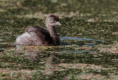 "Least Grebe juvenileTachybaptus dominicus  October – Texas L=9.5"" ......    WS=11""  ......   WT=4 oz Order: Podicipediformes (Grebes) Family: Podicipedidae (Grebes)"