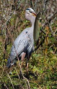 """Great Blue Heron – With recently caught BowfinArdea herodias March – Texas L=46"""" ......    WS=72""""   ......  WT=5.3 lb Order: Ciconiiformes (Herons, Ibises, Storks, New World Vultures, Allies) Family: Ardeidae (Herons, Egrets, Bitterns) Great Blue Herons forage primarily by walking slowly through water, often chest deep, and quickly striking their prey with their bill, which is adapted for both grasping and spearing. Like all other birds of the family Ardeidae the Great Blue Heron has an """"S"""" shaped neck in which the bones of the neck are even more """"S"""" shaped than the neck itself. This extra length of vertebrae serves two functions - (i) since the vertebrae cross from behind to in front of the esophagus, the bones can protect the esophagus during a strike and (ii) this added length allows for incredible quickness in the strike itself."""
