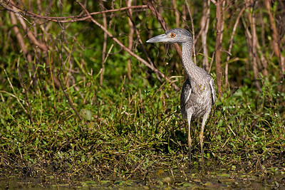 "Yellow-crowned Night-Heron – JuvenileNyctanassa violacea September – Texas L=24""    ...... WS=42"" .......    WT=1.5 lb  Order: Ciconiiformes (Herons, Ibises, Storks, New World Vultures, Allies) Family: Ardeidae (Herons, Egrets, Bitterns)"