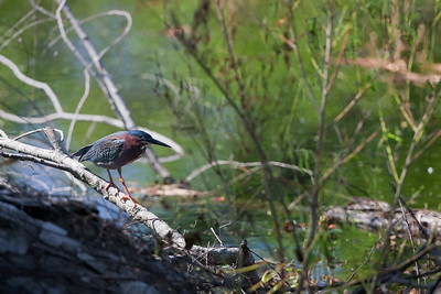 "Green Heron – Foraging Butorides virescens April – Texas L=18"" ......    WS=26""   ......  WT=7 oz Order: Ciconiiformes (Herons, Ibises, Storks, New World Vultures, Allies) Family: Ardeidae (Herons, Egrets, Bitterns)"
