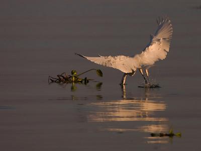 "Great Egret – Grabbing a fish from flight Ardea alba October – Texas L=39"" ......    WS=51"" ......    WT=1.9 lb      Order: Ciconiiformes (Herons, Ibises, Storks, New World Vultures, Allies) Family: Ardeidae (Herons, Egrets, Bitterns)"