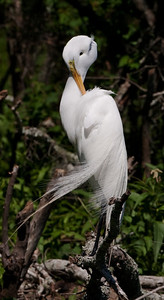 "Great Egret – Preening in breeding plumageArdea alba April – Texas L=39"" ......    WS=51"" ......    WT=1.9 lb      Order: Ciconiiformes (Herons, Ibises, Storks, New World Vultures, Allies) Family: Ardeidae (Herons, Egrets, Bitterns)"