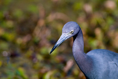 "Little Blue Heron – Foraging Egretta caerylea January – Texas L=26""    ...... WS=36"" .......    WT=13 oz Order: Ciconiiformes (Herons, Ibises, Storks, New World Vultures, Allies) Family: Ardeidae (Herons, Egrets, Bitterns)"
