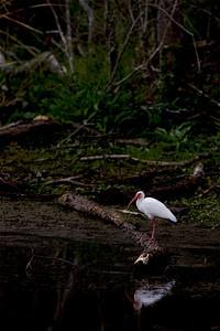 "White Ibis – ForagingEudocimus albus February – Texas L=25"" ......    WS=38"" ......    WT=2 lb Order: Ciconiiformes (Herons, Ibises, Storks, New World Vultures, Allies)  Family: Threskiornithidae (Ibises and Spoonbills)"