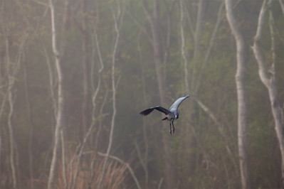 """Little Blue Heron – About to dive for fish Egretta caerylea March – Texas L=26""""    ...... WS=36"""" .......    WT=13 oz Order: Ciconiiformes (Herons, Ibises, Storks, New World Vultures, Allies) Family: Ardeidae (Herons, Egrets, Bitterns)"""