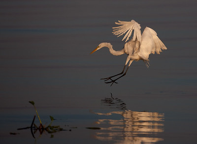 "Great Egret – Diving from flight to catch a fish Ardea alba October – Texas L=39"" ......    WS=51"" ......    WT=1.9 lb      Order: Ciconiiformes (Herons, Ibises, Storks, New World Vultures, Allies) Family: Ardeidae (Herons, Egrets, Bitterns Great Egrets inhabit diverse wetland settings, including small ponds, large lakes, estuaries, and tidal basins. They feed by foraging, primarily by walking slowly through the water and quickly striking with their bill. They also will regularly stand near or over the water and wait for prey. Occasionally, they will, as seen here grab prey from flight."