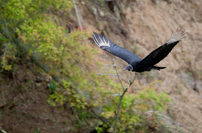 """Black Vulture – SoaringCoragyps atratus April – Texas L=25""""......     WS=59"""".......     WT=4.4 lb Order: Ciconiiformes (Herons, Ibises, Storks, New World Vultures, Allies) Family: Cathartidae (New World Vultures) Black Vultures cannot find food by smell and so are not as adept at finding dead animals as the Turkey Vulture. Where their habitats overlap, which is a very broad area in the southern half of the U.S., Black Vultures will follow Turkey Vultures to find food. Then, even though they are slightly smaller, the Black Vultures will dominate the Turkey Vultures and take the food. Turkey Vultures compensate for this by hunting for small animals that can be eaten quickly.  Black Vultures have a higher wing loading (total body weight to wing area) and thus require stronger thermals to soar and have to flap their wings more frequently, a very energy intensive action. Consequently, Black Vultures have to wait later in the day to start hunting and they cannot live as far north as Turkey Vultures who live over the entire continental U.S. and into Canada."""