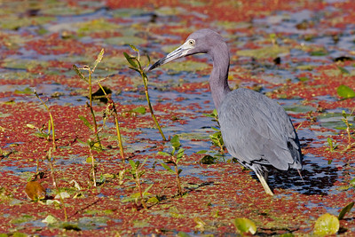 "Little Blue Heron – Foraging Egretta caerylea December – Texas L=26""    ...... WS=36"" .......    WT=13 oz Order: Ciconiiformes (Herons, Ibises, Storks, New World Vultures, Allies) Family: Ardeidae (Herons, Egrets, Bitterns)"